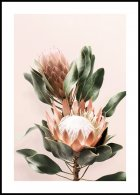 Protea Flowers Poster